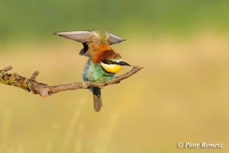 Bee-eaters, Bee-eater photography in Bulgaria, © Piotr Remesz