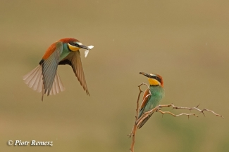 Bee-eater photography in Bulgaria, © Piotr Remesz, Bee-eater hide