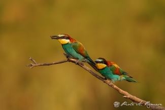 European Bee-eater © Piotr Remesz, Bee-eater hide