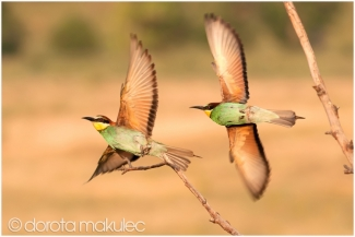 Bee-eaters © Dorota Makulec, Bee-eater hide