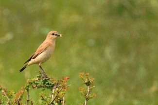 Isabelline Wheatear Hide photography