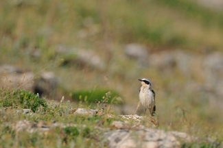 Wheatear Hide photography