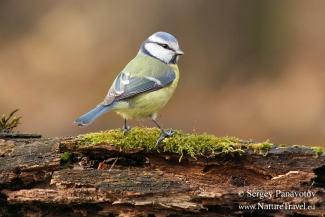 Blue tit, Forest photo hide