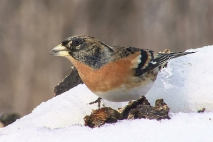Brambling Hide photography