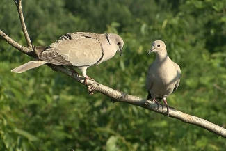 Collared Dove photography in Bulgaria, Author: Sergey Panayotov  © 2012, Photo Tower hide