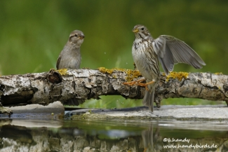 © Neil and Brigitte Handy / Germany, Corn bunting © Brigitte Handy / www.handybirds.de