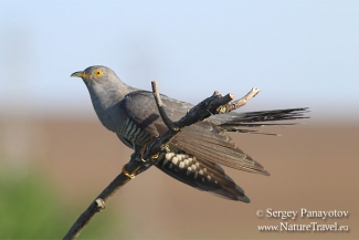 Other Birds, Cuckoo photography