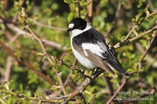 Collared Flycatcher in migration time, Mobile hides