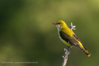 © Neil and Brigitte Handy / Germany, Golden oriole © Brigitte Handy / www.handybirds.de