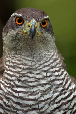 Goshawk Hide photography