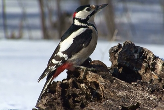 Great spotted woodpecker, Author: Sergey Panayotov © 2012, Feeding station in the cottage backyard