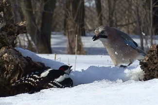 A Jay disturbing a Great spotted Woodpecker, Author: Sergey Panayotov © 2012, Feeding station in the cottage backyard