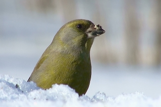 Greenfinch, Author: Sergey Panayotov © 2012, Feeding station in the cottage backyard