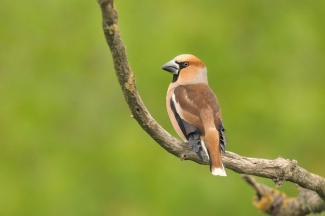 Hawfinch Photography © Michał Wnuk, Photo Tower hide