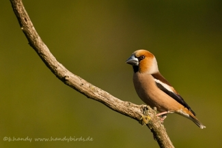 Other Birds, Hawfinch © B. Handy / www.handybirds.de