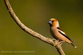 © Neil and Brigitte Handy / Germany, Hawfinch © Brigitte Handy / www.handybirds.de
