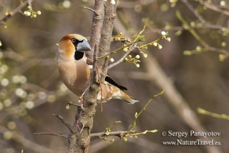 Hawfinch in early spring, Feeding station in the cottage backyard