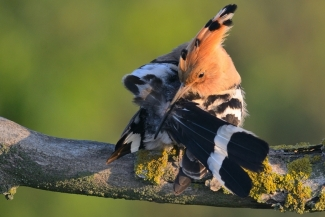 Hoopoe by © Frank Schulkes / Nederland, Photo Tower hide