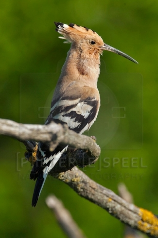 Hoopoe Hide photography