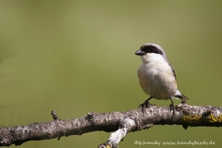 Shrikes & Buntings, Lesser grey shrike © Brigitte Handy / www.handybirds.de