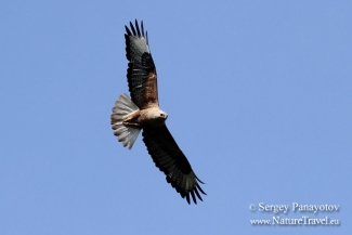 Long legged Buzzard photography