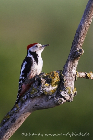 © Neil and Brigitte Handy / Germany, Middle-spotted woodpecker © Brigitte Handy / www.handybirds.de