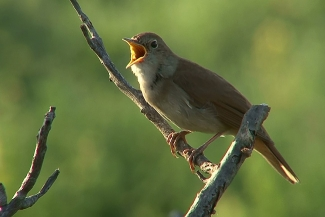 Nightingale photography in Bulgaria, Author: Sergey Panayotov  © 2012, Photo Tower hide