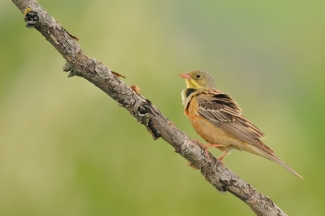 Ortolan bunting / © Michał WNUK, Photo Tower hide
