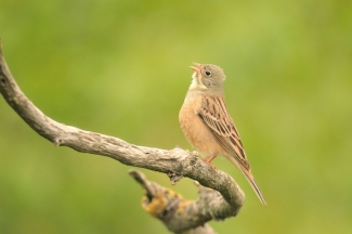 Ortolan bunting Photography © Michał Wnuk, Photo Tower hide