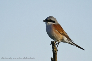 © Neil and Brigitte Handy / Germany, Red-baked shrike © Brigitte Handy / www.handybirds.de