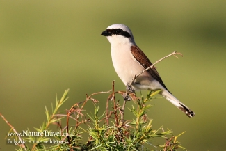 Red-backed Shrike photography in Bulgaria, Author: Iordan Hristov © 2012, 3D Photo camouflage poncho