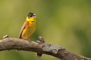 Black-headed Bunting Hide photography