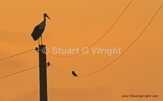 © Stuart Wright / England, White stork & Little owl / © Stuart Wright
