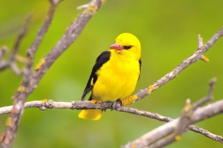Golden oriole Photography © Michał Wnuk, Photo Tower hide