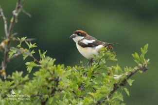 Woodchat shrike photography in Bulgaria, Mobile hides