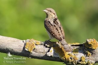 Wryneck photography, Photo Tower hide