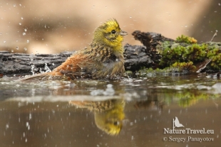 Yellowhammer Hide photography