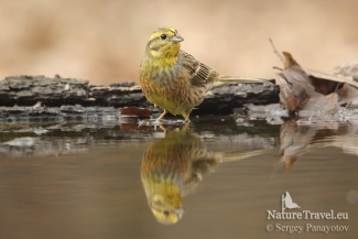Yellowhammer photography, Forest photo hide