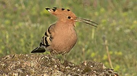 Hoopoe in Bulgaria
